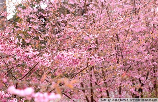 Festa da Cerejeira em Campos do Jordão destaca a Cultura do Japão